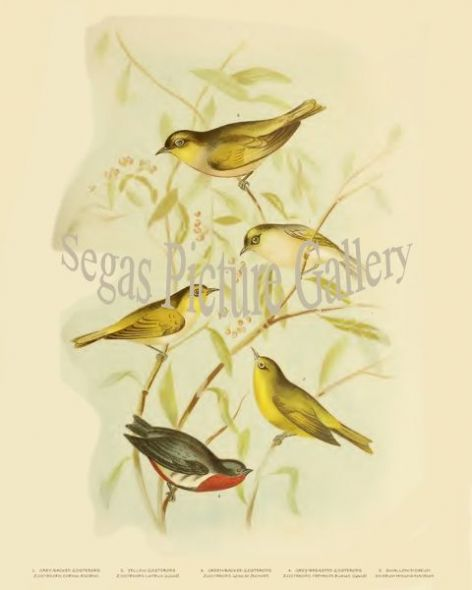 Fine art print of the Zosterops, Grey-Backed (Zosterops Coerulescens)